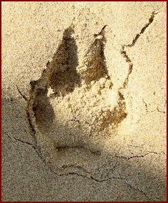RIGHT TRACK OF THE RED FOX