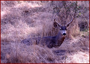 BUCK IN ITS DAY-BED OF DRIED GRASSES