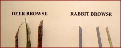 TYPICAL DEER BROWSE IS ON THE LEFT.  RABBIT BROWSE IS ON THE RIGHT.