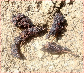 TYPICAL GRAY FOX SCAT